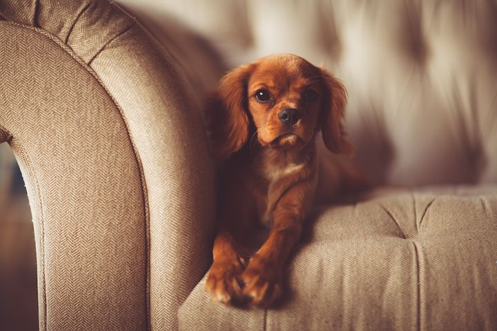 dog sitting in an Italian sofa